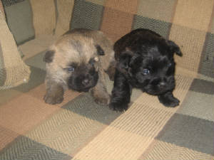 Cairn and Westie Puppies